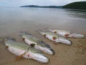 выращивание рыбы сазан толcтолоб белий амур пруде