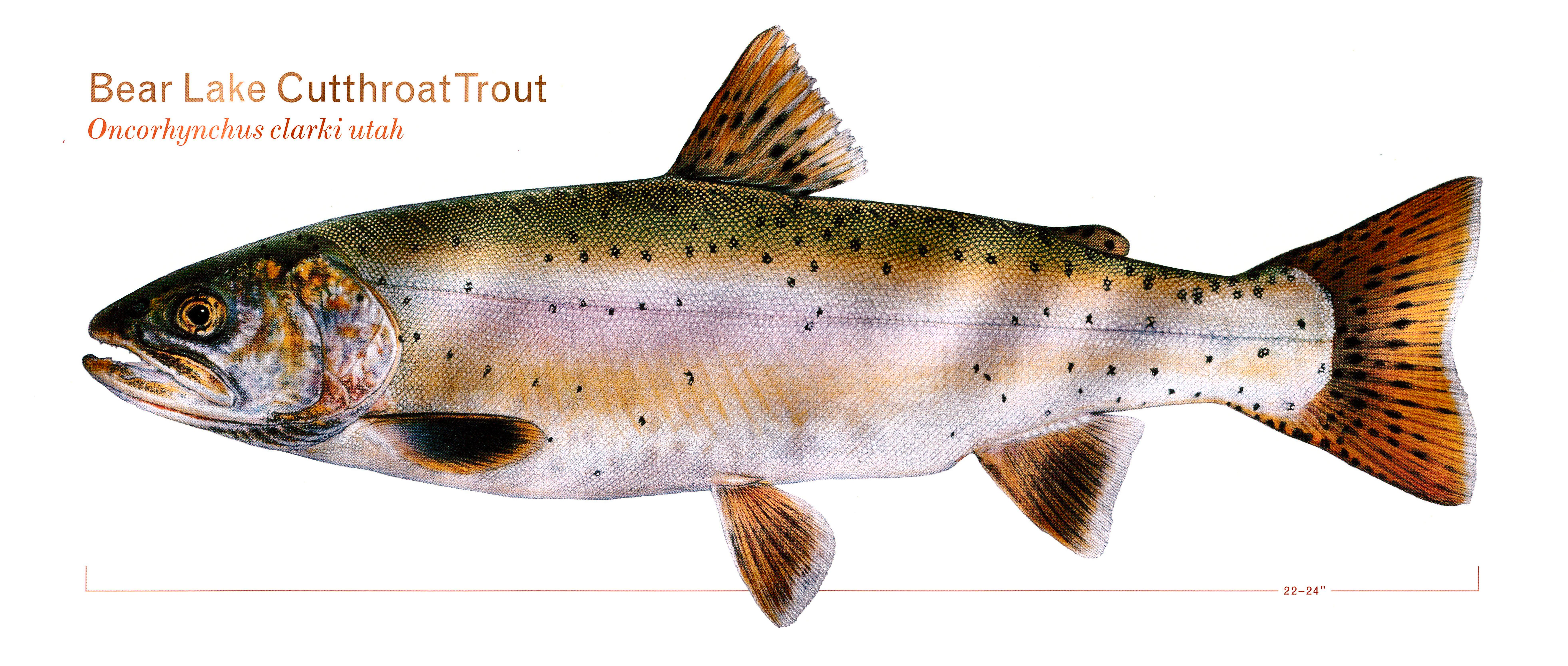North american trout bear lake cutthroat sport fishing for Trout fishing utah